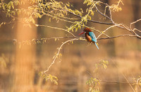 """White-throated Kingfisher"" - Haryana, India"