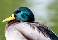 """Male Mallard"" - Colorado, US"