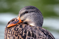 """Female Mallard"" - Colorado, US"