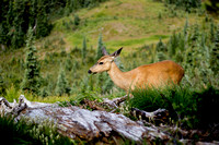 """Blacktail Deer"" - Washington, US"