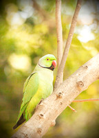 """Rose-ringed Parakeet"" - Delhi, India"